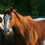 О любви к лошадям