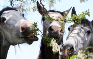 лошади жуют траву