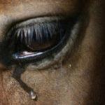 Почему плачут лошади