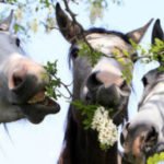 Иерархия лошадей в табуне