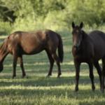Деревья, которые опасны для лошадей